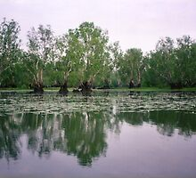 Paperbarks at Yellow Water Billabong by Michael John