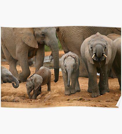 Baby African Elephants Poster