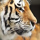 Amur Tiger Portrait by JanSmithPics