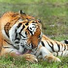 Amur Tiger  by JanSmithPics