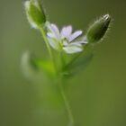 Delicate Green by Pene Stevens