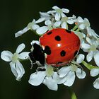 Ladybird on a flower by JanSmithPics