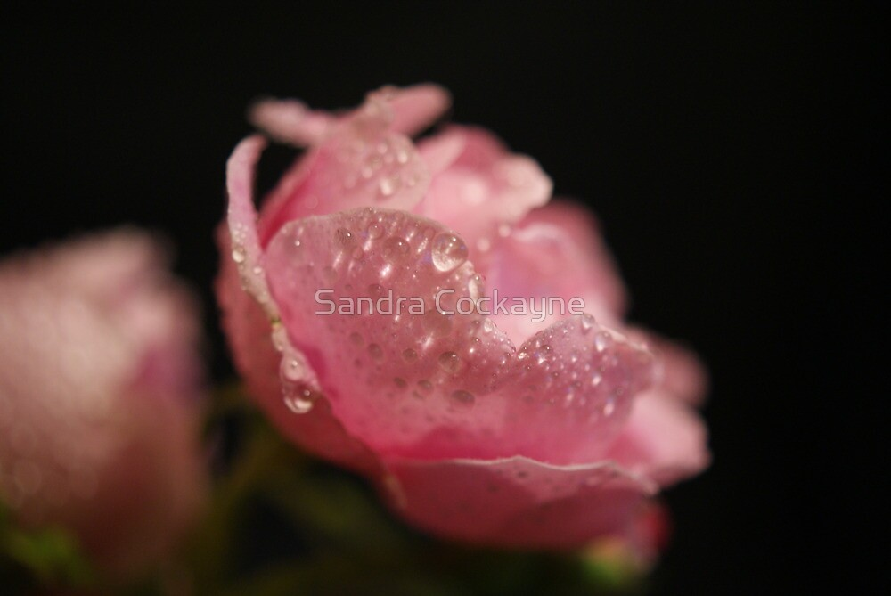 ~ Beautiful Weeping Rose ~ by Sandra Cockayne