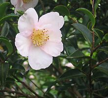 Camellia by astoundingmatt