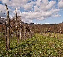 vineyard by Antonio Paliotta