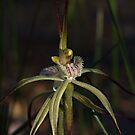 Spider Orchid (Calandenia xantha) by Rick Playle