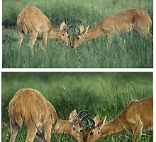 BOHOR REEDBUCKS (Redunca redunca) (TOP REF PHOTO / BOTTOM ART) PLEASE READ BLURB by owen bell