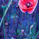 Poppy standing tall  by DIANE  FIFIELD