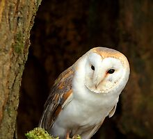 Barn Owl 2 ( Tyto alba ) by Norfolkimages