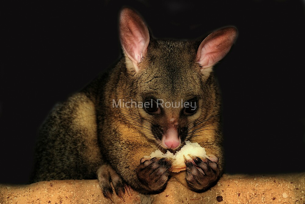 Brush Tail Possum  by KeepsakesPhotography Michael Rowley