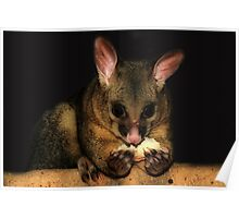 Brush Tail Possum  Poster