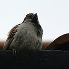 House Sparrow  by David Bass