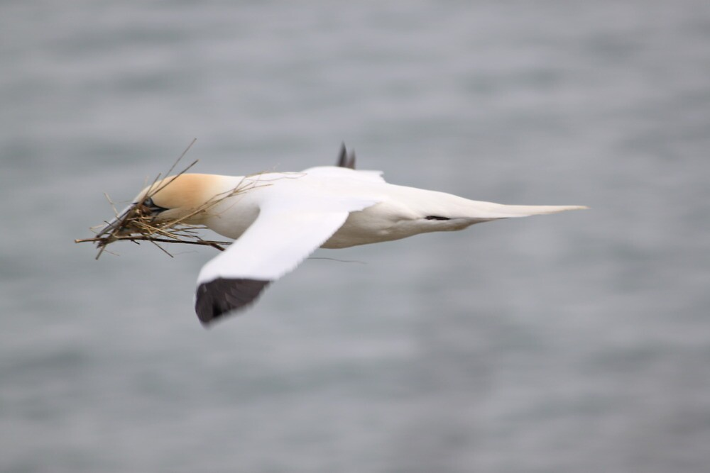 Nest building (Gannet)  by David Bass