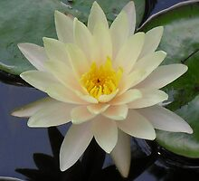 Peachy Water Lily with Damsel by Navigator