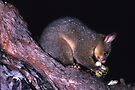 Possum by Werner Padarin