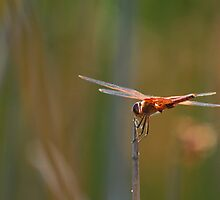 Dragonfly Acrobatics by photojeanic