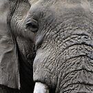 Elephant Macro by loz788