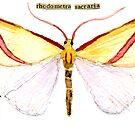 Rhodometra sacraria (The Vestal Moth) by Carol Kroll