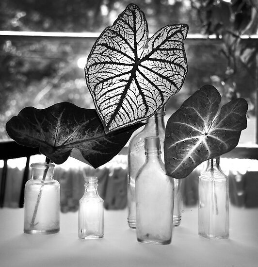 Three Caladiums Black and White by Jay Reed