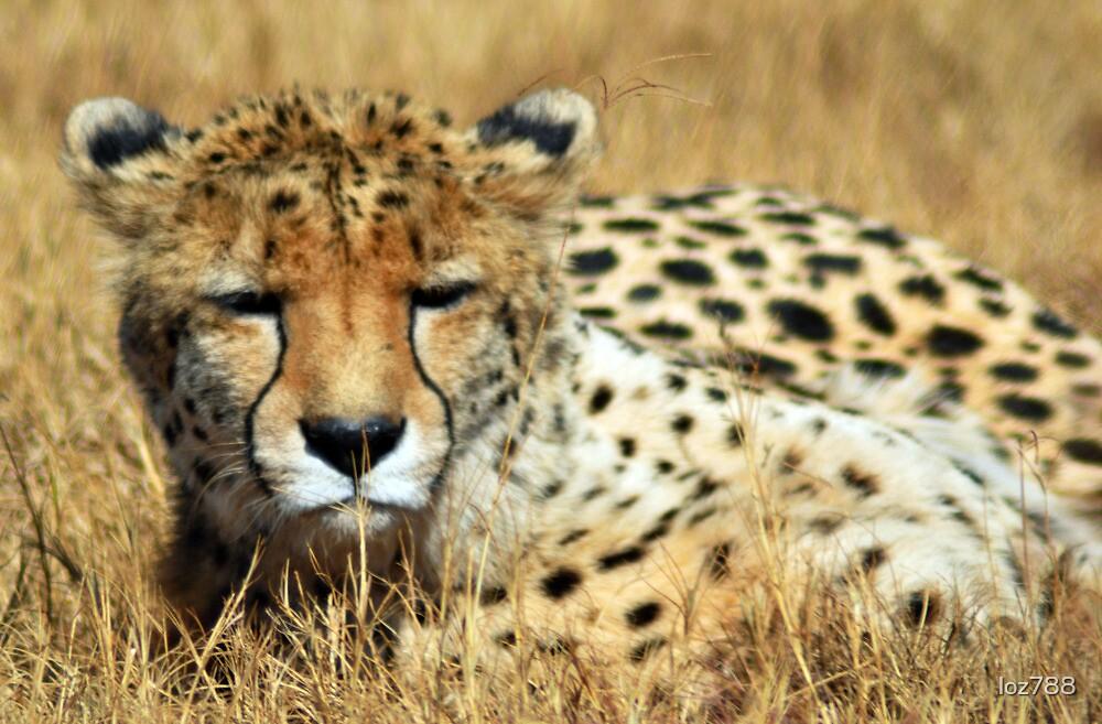 Cheetah by loz788