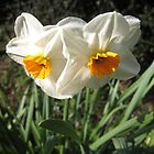 Cornish Daffodils... by ellismorleyphto