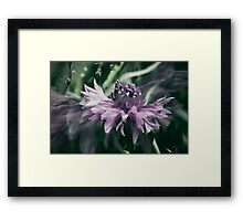 Purple Cornflower Framed Print