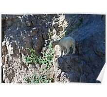 Pondering the Next Step, Mountain Goat Photo in Montana Poster