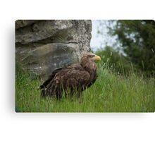 Irish Sea Eagle Canvas Print