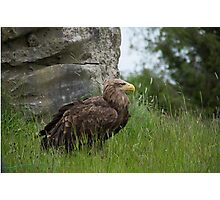 Irish Sea Eagle Photographic Print