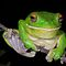 (Amphibians & Reptiles Category) - Family - Hylidae - Tree Frogs
