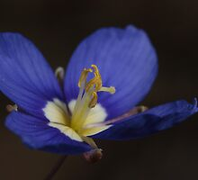 Blue Sunflax by Etwin