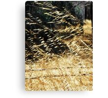 Golden grass blowing in the wind Canvas Print
