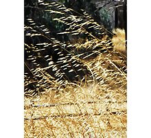 Golden grass blowing in the wind Photographic Print