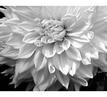 Dahlia in B & W Photographic Print