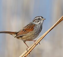 Swamp Sparrow by Gary Fairhead