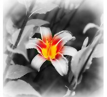 Beautiful Orange Tiger Lily- vermont Photographic Print