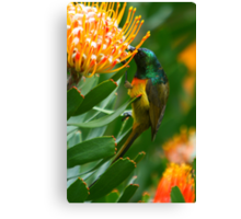 Orange-breasted Sunbird on Protea Canvas Print