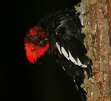 Tidying Up - Preening Magelanic Woodpecker by naturalnomad