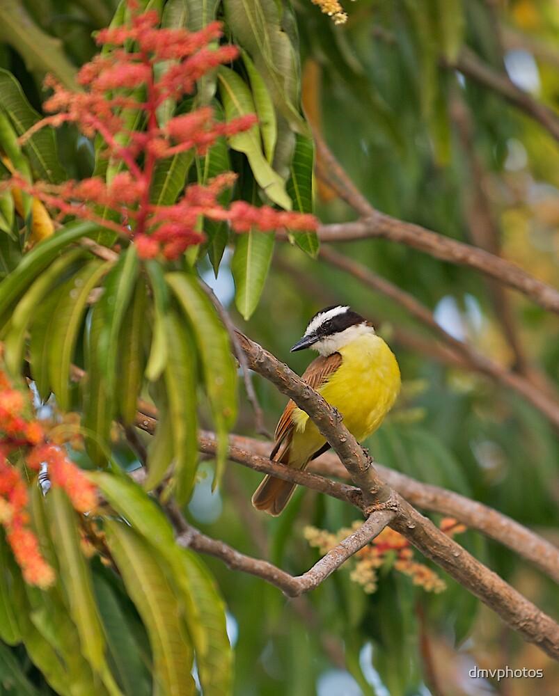Social Flycatcher in Costa Rica. by dmvphotos