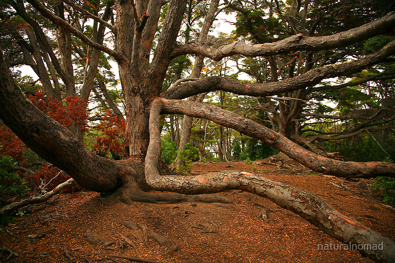 Ancient Forest - Antarctic Beech by naturalnomad