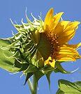 Sunflower Half n Half by RebeccaBlackman