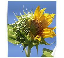 Sunflower Half n Half Poster