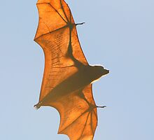 X-ray Fruit Bat by naturalnomad
