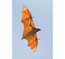 X-ray Fruit Bat Photographic Print