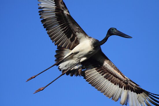 Jabiru Flight by naturalnomad