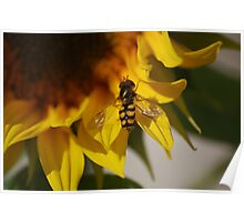 The Fover-fly on a sunflower Poster