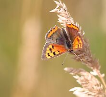 Small Copper  by Ian Sanders