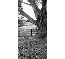 Old gum tree - Dykes Bridge Photographic Print