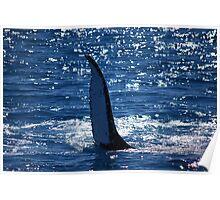 Majestic humpback whales 5 - Australia Poster