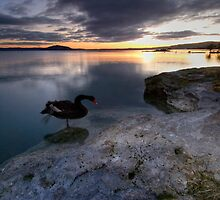 Up Early With the Swans by Michael Treloar